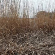 Dry reeds in the wind — Stockvideo #71905587