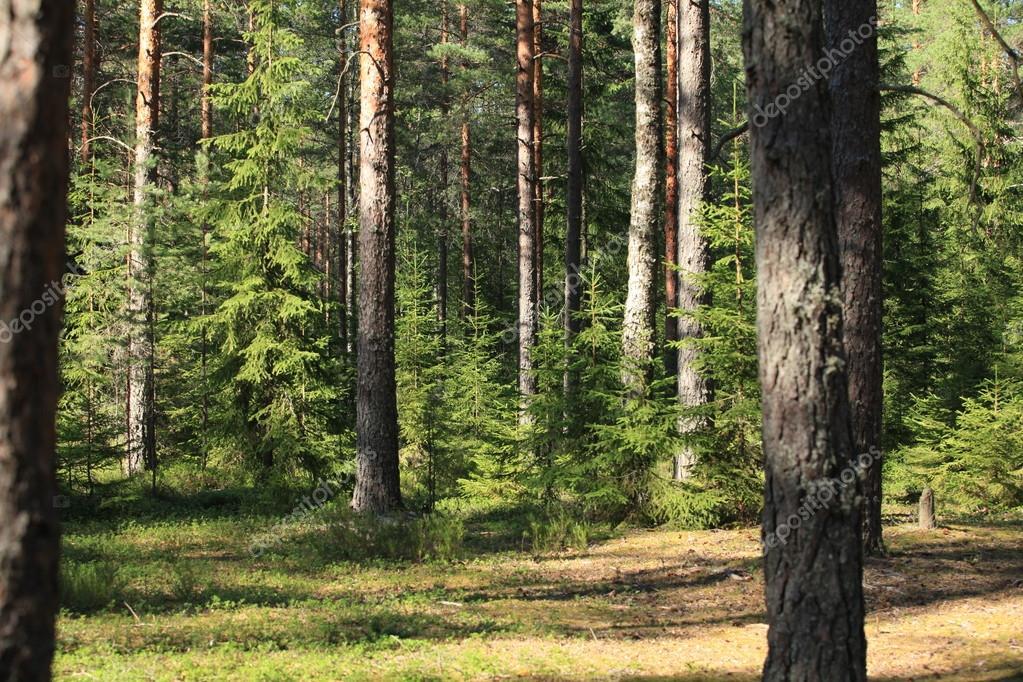 Сосна  The Forest вики  FANDOM powered by Wikia