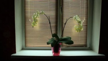 Blossoming white orchid on the window-sill with jalousie horizontal — Stock Video