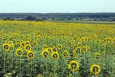 Field of sunflowers near the forest — Stock Photo