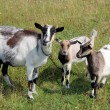 Goat and kids on the pasture — Stock Photo #54006999