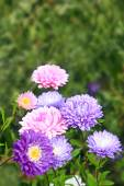 Flowers of different beautiful asters — Stock Photo