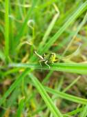 Green grasshopper on the green blade — Stock Photo