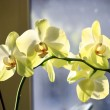 Fine branch of the blossoming yellow orchid — Stock Photo #68321143