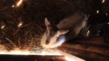 Ovce v kabince — Stock video