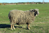 Sheep on the pasture — Stock Photo