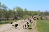 Cows coming back from pasture — Stock Photo
