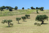 Marches (Italy): olive trees — Stock Photo