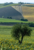 Marches (Italy): summer landscape — Stockfoto