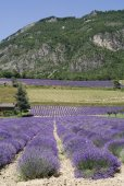 Demonte  (Cuneo, Italy), lavender fields — Stock Photo