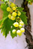Green grapevine — Stock Photo