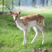Roe deer — Stock Photo