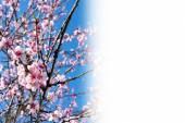 Cherry blossoms — Stock Photo
