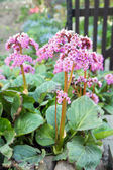 Rhubarb plant — Stock Photo