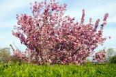 Almond tree — Stock Photo