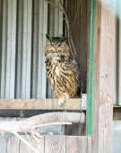 Big Owl — Stock Photo