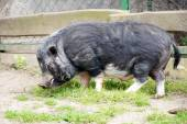 Pig in a enclosure — Stock Photo