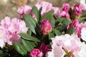 Rhododondren shrub — Stock Photo