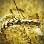 Barley field — Stock Photo #80056796