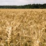 Barley field — Stock Photo #80056920