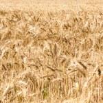 Barley field — Stock Photo #80057044