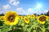 Field of sunflowers — Stock Photo