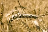 Barley field — Stock Photo