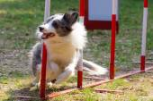 Agility dog with a bluemerle border collie — Stock Photo