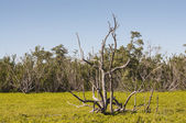 Dry tree in the swamp of Everglades National Park, Florida, USA — Stock Photo
