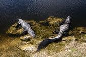 Alligators in Everglades National Park, Florida — Stock Photo