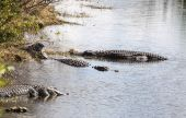 Alligators in Everglades National Park, Florida — Stock Photo
