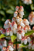Pieris japonica in bloom — Stock Photo