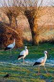 Three storks walking on a winter field — Stock Photo