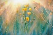 Yellow meadow flowers illuminated by sunlight — Stock Photo