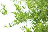 Aceitunas verdes y ramas de olivo — Foto de Stock
