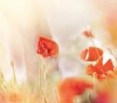 Beautiful poppy flowers in meadow — Stock Photo