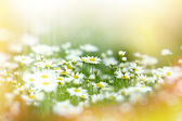 Soft focus on flowers of daisy — Stock Photo