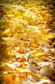 Autumn leaves lit by the afternoon sun on forest path — Stock Photo