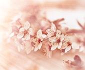 Beautiful flowering fruit tree -  Blooming in spring — Stock Photo