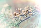 Soft focus on beautiful budding and flowering fruit tree — Stock Photo