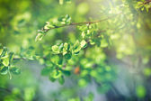 Budding spring leaves lit by sun rays (sunbeams), new life coming, becoming — Stock Photo