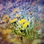 Soft focus on dandelion flowers — Stock Photo #66221111