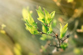 Fresh spring leaves illuminated with sun rays — Stock Photo
