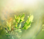 Budding spring leaves lit by sun rays — Stock Photo