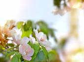 Flowering quince - quince flowers — Stock Photo