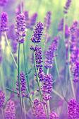 Flower lavender — Stock Photo