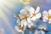 Beautiful blooming lit by sun rays - sunbeams — Stock Photo