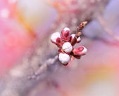 Buds -  flowering in spring (budding buds) — Stock Photo