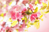 Beautiful blossom Japanese cherry — Stock Photo