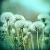 Dandelion seeds - fluffy blowball — Stock Photo